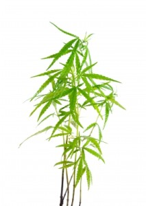 10 faktov o marihuane