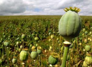 growing-poppy-seeds_126890216.s300x300