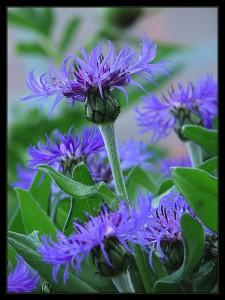 centaurea-montana-l-nevadza-horska