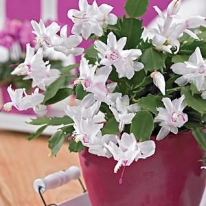 white-christmas-cactus-dg