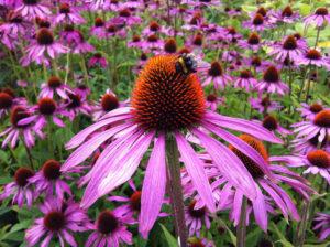 Kvet, ktorý posilňuje imunitu. Poznáte echinaceu?